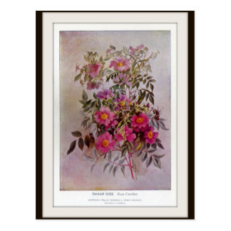 Swamp Rose Botanical Wildflower Flower Postcard