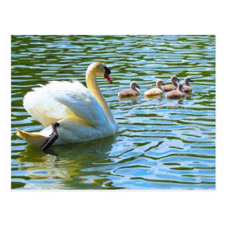 Swan and Cygnets Postcard
