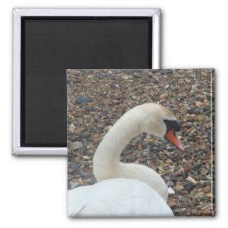 Swan at Rest Refrigerator Magnets