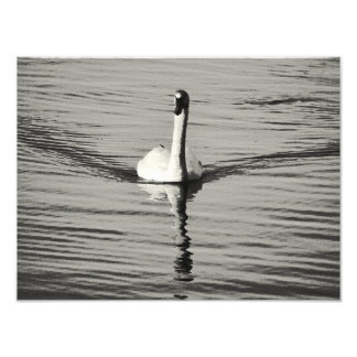 swan in black and white photo print