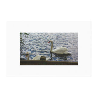 Swan in spring in England Stretched Canvas Print