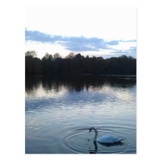 Swan on a lake postcard