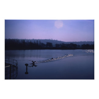 Swan on English lake Poster