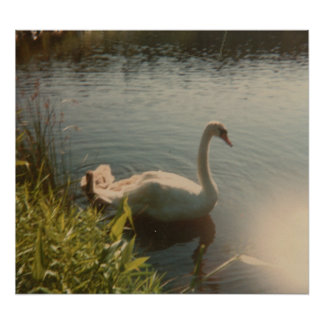 Swan on Pond  Poster