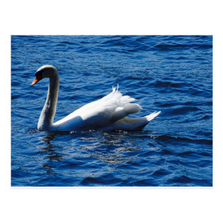 Swan on the Bodensee Postcard
