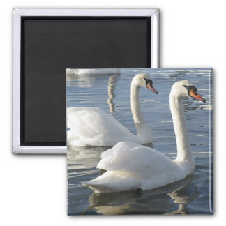 Swan Reflections Magnet