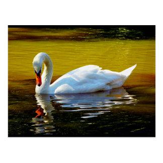 Swan Swimming On Lake In Beautiful Autumn Colors Postcard