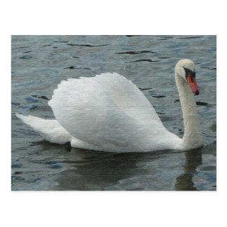 Swan swimming postcard