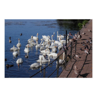 Swans and Other Birds at Roath Park Lake Cardiff Poster