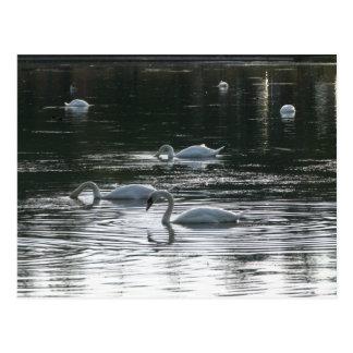 Swans Feeding, Roath Park Lake, Cardiff Postcard