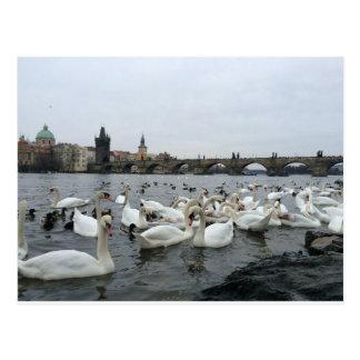 Swans on the banks of the Charles Bridge Postcard