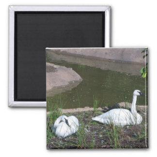 Swans Square Magnet