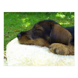 Sweet Baby Dachshund, sleeping puppy Postcard