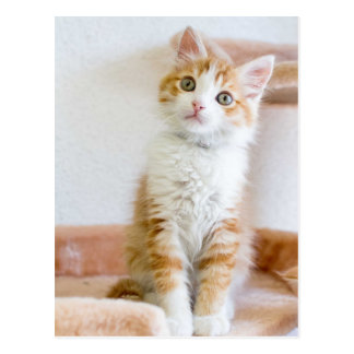 Sweet Blue Eyed Kitty Postcard