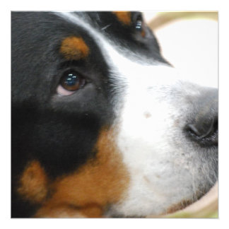 Sweet Greater Swiss Mountain Dog Custom Announcements