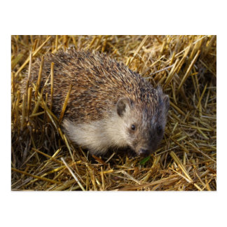 Sweet Hedgehog In Stubble Field Postcard