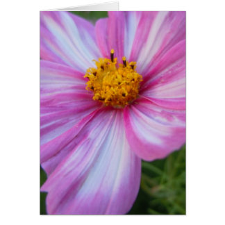 Sweet Pink and White Cosmo Greeting Card