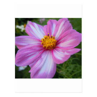Sweet Pink and White Cosmo Postcard