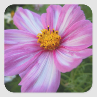 Sweet Pink and White Cosmo Square Sticker
