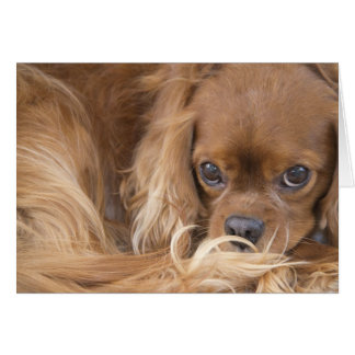 Sweet Ruby Cavalier King Charles Spaniel Card