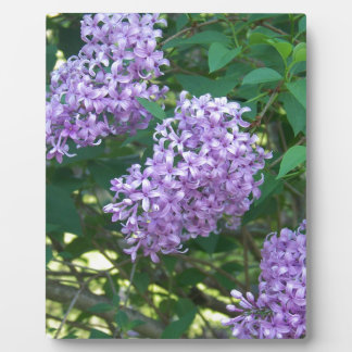 Sweet Smelling Lilacs Plaque