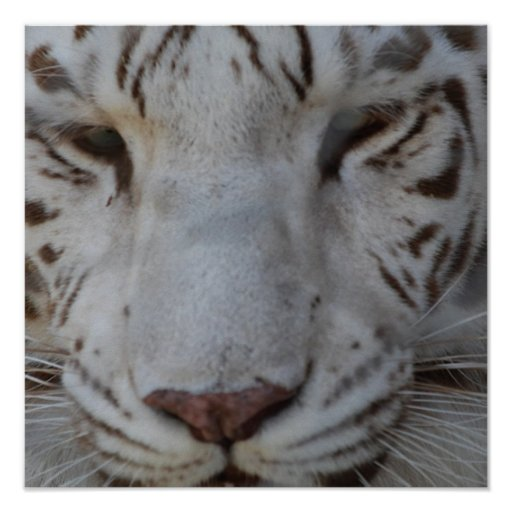 Sweet White Tiger Poster