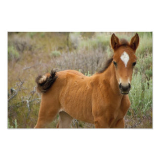 Sweet Young Mustang Foal Photo Print