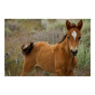Sweet Young Mustang Foal Poster