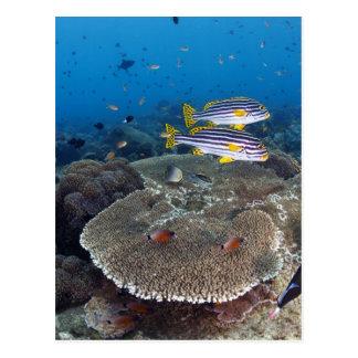 Sweetlip Fish Postcard