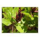 Sweetshrub (Calycanthus floridus) Card