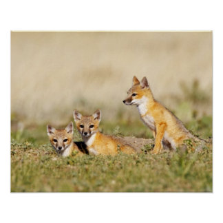 Swift Fox (Vulpes macrotis) young at den burrow, 5 Poster