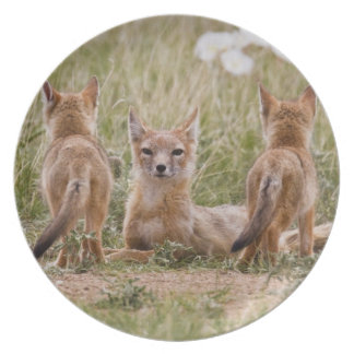 Swift Fox (Vulpes velox) female with young at Party Plate