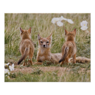 Swift Fox (Vulpes velox) female with young at Poster