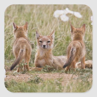 Swift Fox (Vulpes velox) female with young at Square Sticker