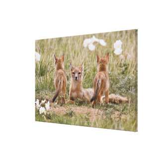Swift Fox (Vulpes velox) female with young at Stretched Canvas Prints