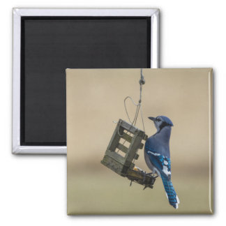 Swinging Blue Jay Magnet