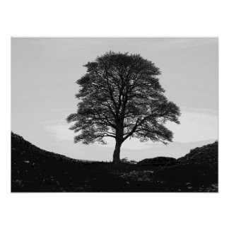 Sycamore Gap Poster/Print Poster