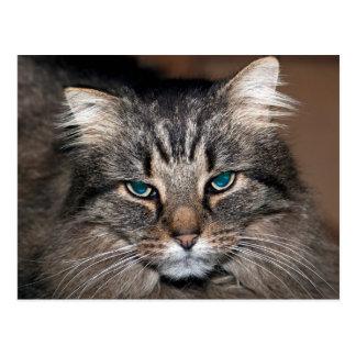 Tabby Cat Postcard