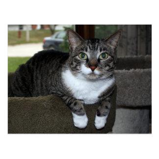 Tabby Housecat in Front of Window Postcard