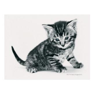 Tabby Kitten Postcard