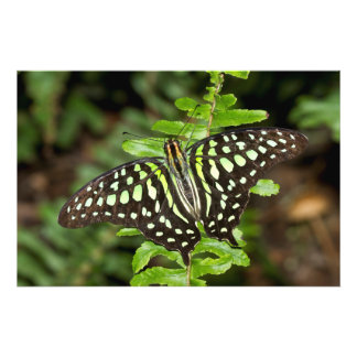 Tailed Jay butterfly Photo Print