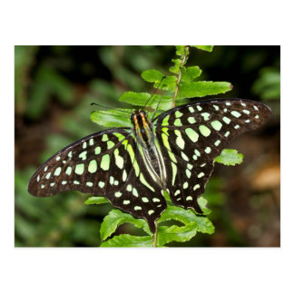 Tailed Jay butterfly Postcard