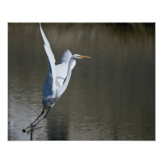 """""""Take Off"""", Great Egret Poster"""