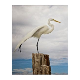 Talented Egret | Fort Myers Beach, Florida Acrylic Print
