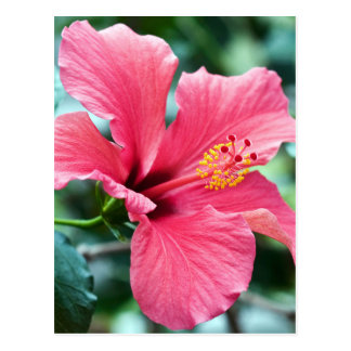 TALK HIBISCUS FLOWER POSTCARD