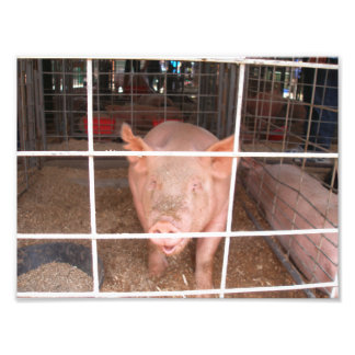 Talking Pig in a Pig Pen Photo Art