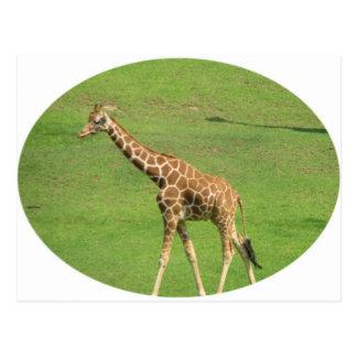 Tall Giraffe Postcard
