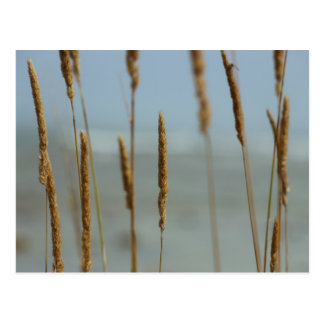 Tall Grasses on Lake Michigan Postcards