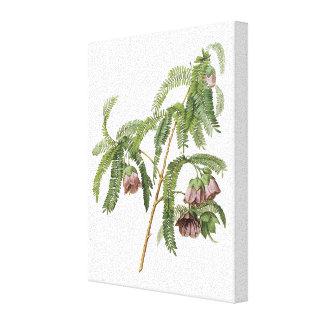 tamarind flower by Redouté Canvas Prints