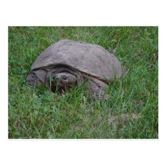 Tame Snapper Turtle Postcard
